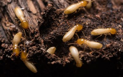 How to Identify Termites In the Home